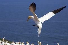 Gannets殖民地 库存图片