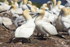 Gannets殖民地 图库摄影