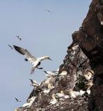 Gannets κατά την πτήση Στοκ Εικόνες