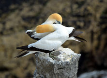 Gannets: σύνθεση Στοκ Εικόνα