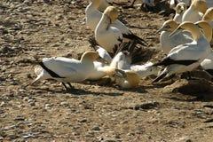 gannets бой плащи-накидк Стоковое Изображение
