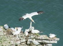 Gannets вложенности на headland скалы Стоковые Изображения
