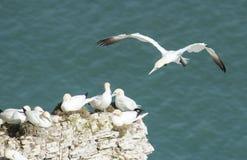 Gannets вложенности на headland скалы Стоковое Фото