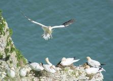 Gannets вложенности на headland скалы Стоковые Фото