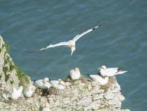 Gannets вложенности на headland скалы Стоковые Фотографии RF