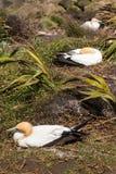 Gannets вложенности Стоковое Изображение RF