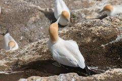 Gannets вложенности Стоковая Фотография RF