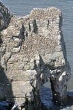 Gannets вложенности Стоковая Фотография