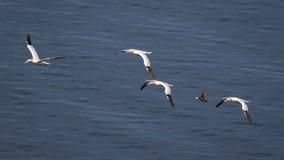 Gannets в полете Стоковая Фотография