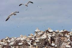 Gannets в полете Стоковые Изображения