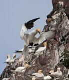 Gannets в полете Стоковые Фотографии RF