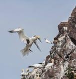 Gannets в полете Стоковое Изображение