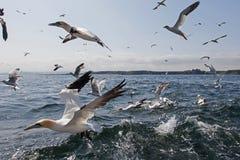 Gannets в полете Стоковые Изображения RF