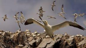 Gannets в полете Стоковое Изображение RF
