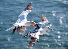 2 gannets в полете Стоковое Фото