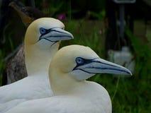 2 gannets в северных Нидерландах Стоковая Фотография RF