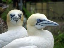 2 gannets в северных Нидерландах Стоковое Фото
