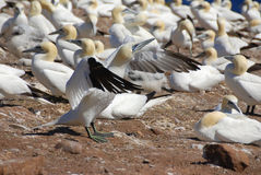 gannets колонии северные Стоковое Фото