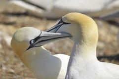 gannets колонии северные Стоковая Фотография RF