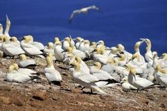 gannets колонии северные Стоковые Изображения RF