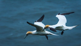 2 gannets на скалах bempton, Йоркшире, Великобритании Стоковые Изображения