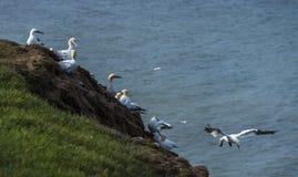 Gannets на скалах bempton, Йоркшир, Великобритания Стоковое Изображение