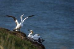 Gannets на скалах bempton, Йоркшир, Великобритания Стоковое Изображение RF