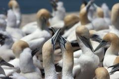2 gannets пересекая их клювы Стоковая Фотография RF