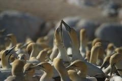 gannets плащи-накидк Стоковое Изображение