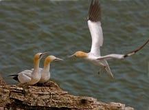 gannets скал bempton Стоковое Изображение