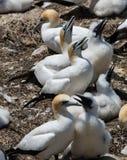 Gannets с их детенышами Стоковое Изображение