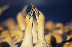 2 Gannets ухаживая около колонии Стоковые Фото
