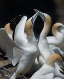 Gannets ухаживая, Muriwai, Новая Зеландия -4 Стоковые Фото