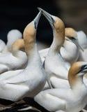 Gannets ухаживая, Muriwai, Новая Зеландия -7 Стоковое Изображение RF