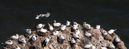 Gannets -筑巢Gannets -桑属- Bempton峭壁-北部Yorks 免版税库存图片