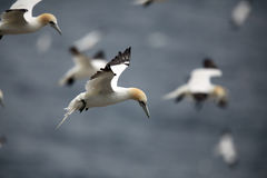 Gannets. Northern Gannets flying over the Atlantic Ocean Royalty Free Stock Photo