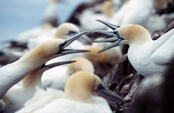 Gannets. Two couples fighting for space in gannet seabird colony royalty free stock photography