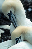 Gannets. Couple of gannets grooming each other royalty free stock images