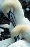 Gannets lizenzfreie stockbilder