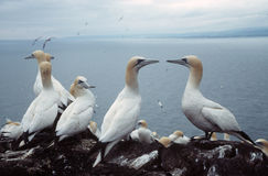 Gannets. In seabird colony looking out to the sea landscape view stock image