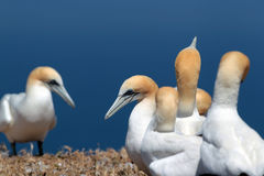 Gannets Stock Image