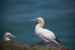 Gannets Стоковые Фотографии RF