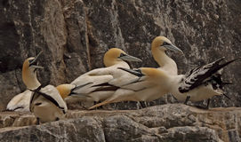 5 Gannets Стоковая Фотография