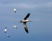 Gannets Стоковое Фото