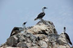 Gannets Стоковое Изображение RF