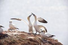 gannets Royalty-vrije Stock Fotografie