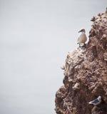 gannets Photos libres de droits