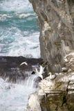 gannets Imagen de archivo libre de regalías