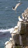 gannets Imágenes de archivo libres de regalías