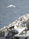 gannets Fotografia de Stock Royalty Free